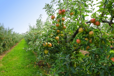 apple orchard in summer, covered with colorful apples