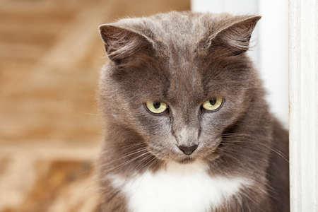Photo pour Portrait of a pretty chartreux cat with long hairs and yellow eyes. - image libre de droit