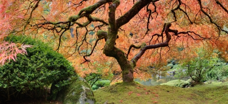 Old Japanese Maple Tree at Public Garden in Autumn Panorama