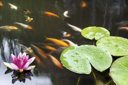 Lily Pad Leaf and Pink Flower Floating in Koi Fish Pond