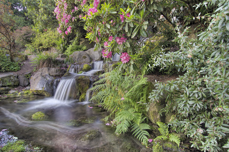 Garden Waterfall with Blooming Rhododendron Pink Flowers and Ferns in Spring
