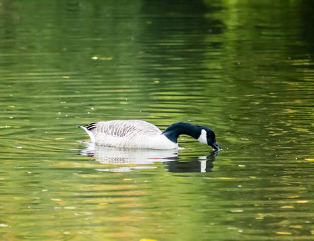 Canada Goose (Branta Canadensis), swimming in water after landing and drinking water, reflection from the surface