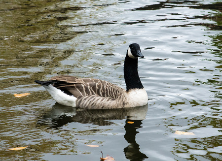 Canada Goose (Branta Canadensis), swimming in the urban canal