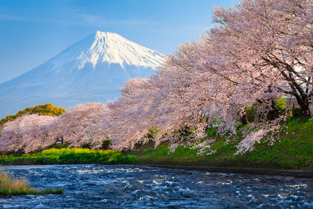 Fuji and Sakura at river in the morning