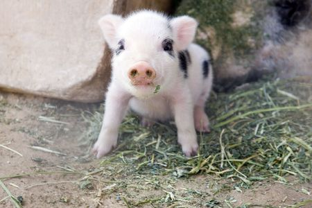 One week old fuzzy  pigletの写真素材