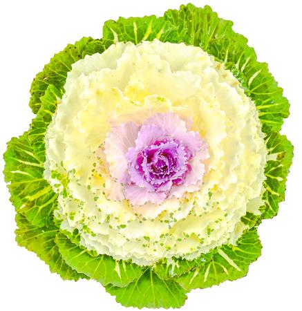 Color cabbage / ornamental Brassica for gardening