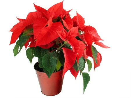 A Christmas Poinsettia isolated on a white background
