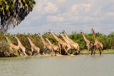 Photo pour Tower off Giraffes in retreat spooked by the possibility of something sinister being in the water - image libre de droit