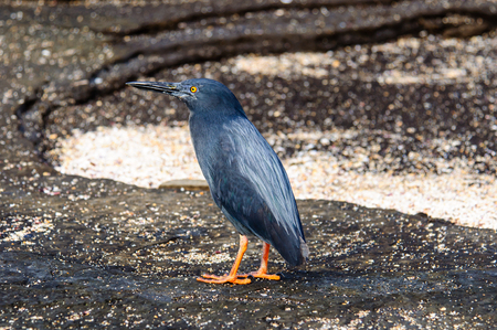 Lava Heron , an endemic species of the Galapagos