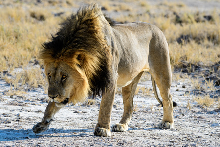 Cowardly insecure male lion