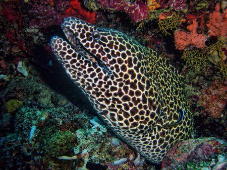 Morena fish