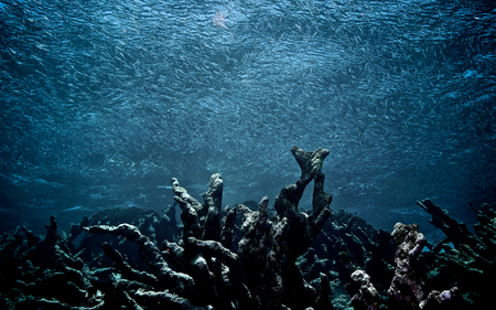 A school of fish swims over a field of dead coral