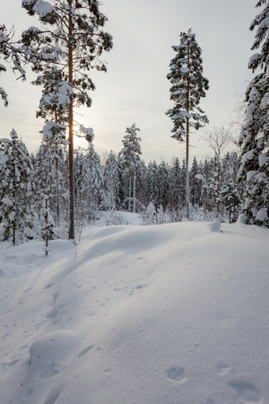 Photo for Snowy winter forest and snow covered trees in Finland - Royalty Free Image