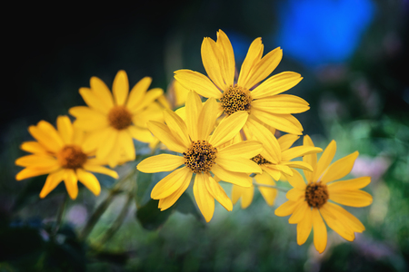 Foto de Arnica herb blossoms on a dark background. Close view. - Imagen libre de derechos