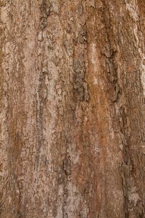 Bark texture of tropical tre