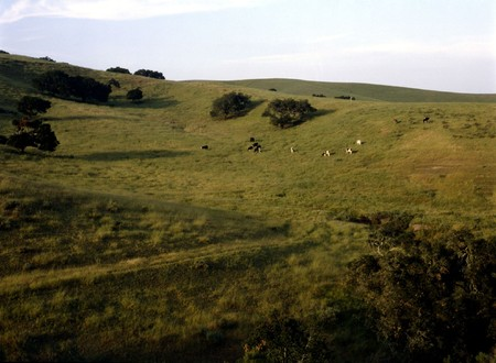 Cattle grazing in California