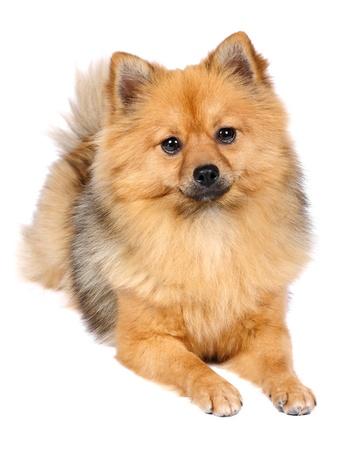 Pomeranian Spitz dog in studio