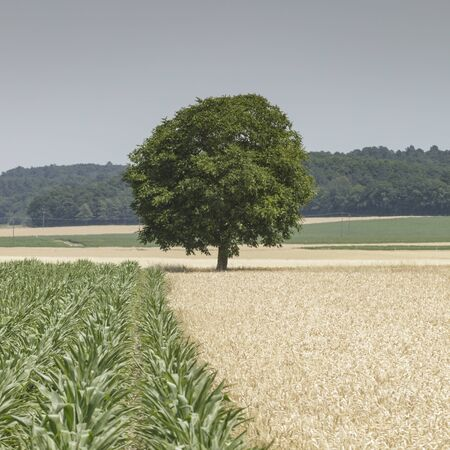 Photo pour Lone tree in a field in the Loire Valley, France. - image libre de droit