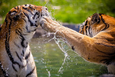 Photo pour Two adult tigers at play in the water - image libre de droit