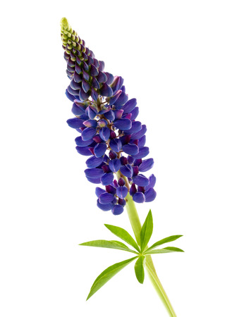 blue flower lupine isolated on white background