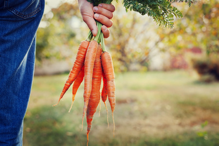 Farmer hand holding a bunch of fresh organic carrots in autumn garden outdoor, toned image