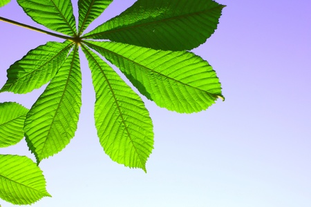 Beautiful green leaf of chestnut on a blue background