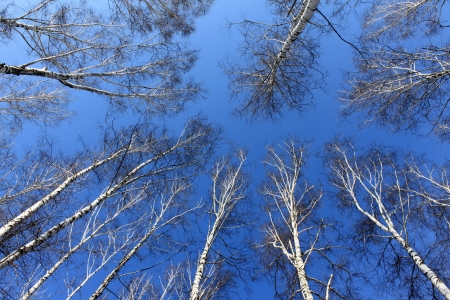 Birch Wood Against A Blue Sky