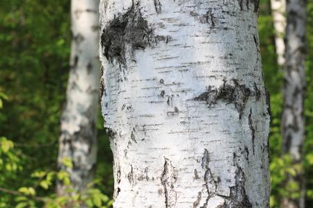 Foto de Birch tree trunk in the sun outdoors in summer closeup. Birch bark in natural environment in sunlight in the morning. - Imagen libre de derechos