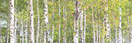 Photo pour Beautiful birch trees with white birch bark in birch grove with green birch leaves - image libre de droit