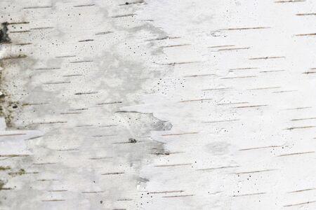 Foto de pattern of birch bark with black birch stripes on white birch bark and with wooden birch bark texture - Imagen libre de derechos
