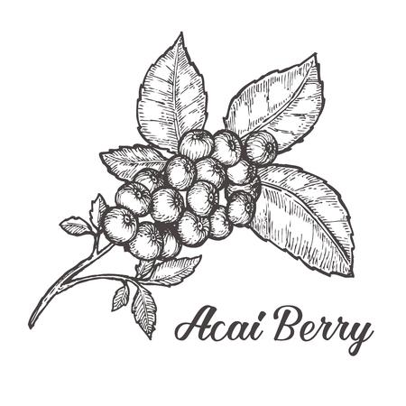 Illustration pour Acai berry. Organic super food ingredient. sketch illustration - image libre de droit