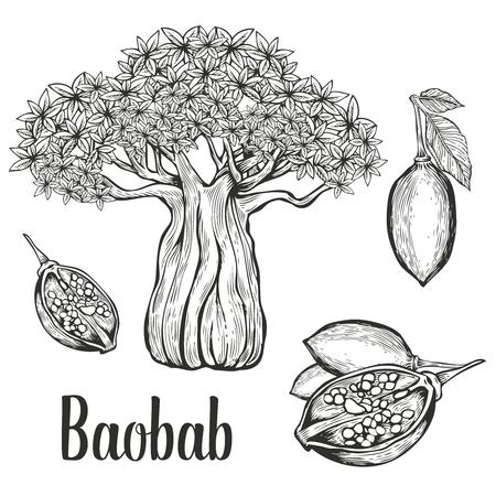 Illustration pour Baobab tree, fruit, leaf, nut engraving vintage set.  illustration. Black on white background. - image libre de droit