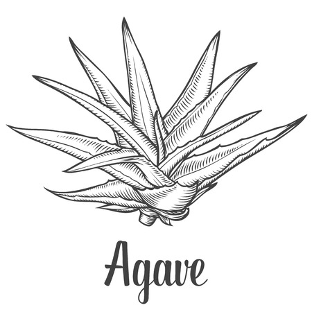 Illustration for Cactus blue agave. plant vector hand drawn illustration on white background. Ingredient for traditional medicine, treatment, body care, cooking or gardening. Succulent. Engraving style. - Royalty Free Image