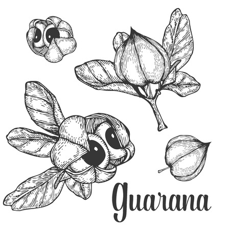 Illustration pour Guarana seed, fruit berry energetic diet caffeine plant superfood energy drink  and herbal tea ingredient. Natural organic hand drawn vector sketch engraved illustration. Black isolated on white - image libre de droit