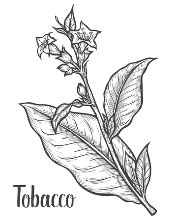 Illustration for Tobacco plant, leaf, flower. Ingredient for smoking pipe. Tobacco Hand drawn vector engraved etch ink illustration. Natural organic botanical drawing. Isolated sketch black on white background. - Royalty Free Image