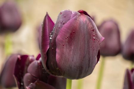 Photo pour Tulip Queen of night - image libre de droit