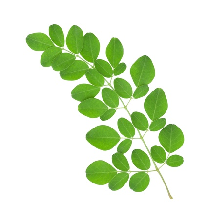 Photo for Moringa oleifera leaves isolated on white background - Royalty Free Image