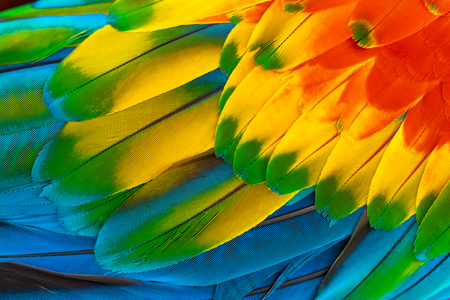 Foto de Colorful macaw parrot feathers with red yellow orange blue for nature background - Imagen libre de derechos