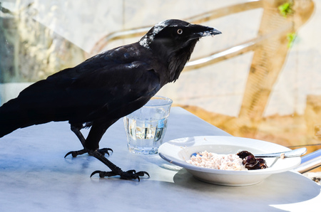 A crow that elegantly eats breakfast