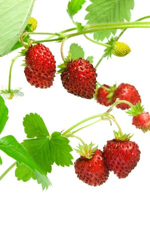 Wild strawberries isolated on a white background.