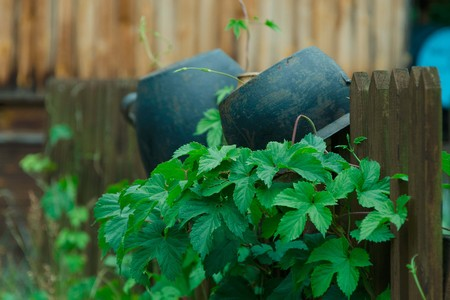 Old pot on wooden, lath fence with green climbing plants