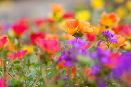 Colorful low, ground covering  flowers