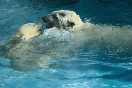 Polar bears bask in the pool, caressing each other