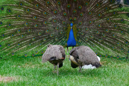 Peacock and his entourage