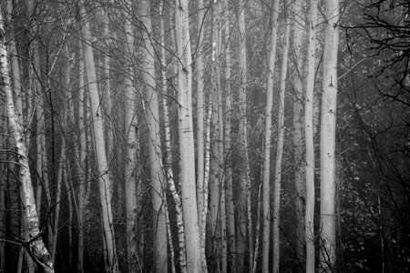 Photo pour Black and white deciduous tree trunks in a grove. Chaotic layout of the branches that are already leafless and ready for the winter. Selective focus on the trunks, blurred background. - image libre de droit