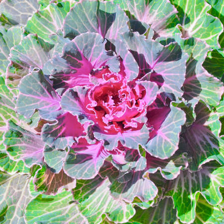 the close up of cabbage flower