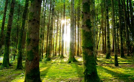 Foto de Beautiful scenery with sunbeams in the forest - Imagen libre de derechos