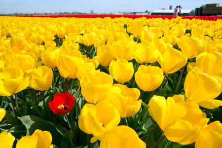 Photo pour Yellow tulip field in Holland - image libre de droit