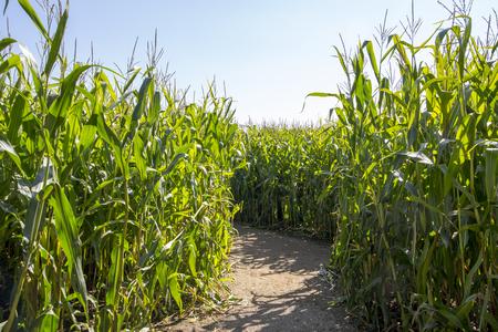 Maize Maze.  Footpath through a maze made out of a field of maize corn