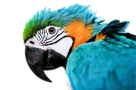 Blue   Gold Macaw isolated on a white backround